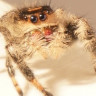Vücut Uzunluğunun 6 Katı Mesafeyi Zıplayarak Geçen Eğitimli Örümcek