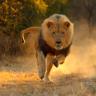 Olası Bir Aslan Saldırısında Nasıl Hayatta Kalınır?
