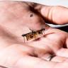 Bilim İnsanları, Kürdan Ağırlığında Bir Robot Sinek Üretti
