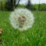 Karahindiba Bitkisinin Yaşam Döngüsünü Gösteren Bu Gif'i Görenler Hayatlarının Aydınlanmasını Yaşıyor!