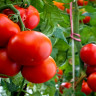 Domates, Nasıl Aynı Anda Hem Sebze Hem de Meyve Olabiliyor?