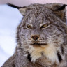 Tıpkı İnsan Gibi Çığlık Atan Hayvan: Kanada Vaşağı (Video)