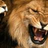 Kaçak Avcılar, Afrika Aslanlarını Dişleri ve Pençeleri İçin Öldürüyorlar