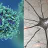Bilim İnsanları, Kan Hücrelerini Gerçek Beyin Hücrelerine Dönüştürdüler!