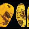 Kehribar Tarafından Korunmuş, Tarihin En Yaşlı Kurbağa Fosilleri Keşfedildi!