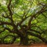 Bir Ağacın Kaç Yaşında Olduğu Nasıl Hesaplanır?