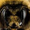 Bilim İnsanları, Arılarda Şimdiye Kadar Keşfedilmemiş 27 Virüs Türü Keşfetti