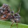 Savunma Taktikleriyle Şaşkına Çeviren İlginç Böcek Türleri