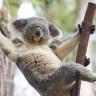 Bilim İnsanları Koalaların Genetik Kodunu Çözdü