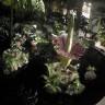 Ceset Çiçeğinin 10 Yılda Bir Görebileceğiniz Hayranlık Uyandıran Time-Lapse Videosu
