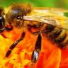 Bal Arılarının, Kraliçe Arı Ölünce Uyguladıkları İnanılmaz Taktik: Acil Durum Kraliçeleri
