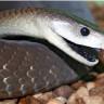 Standart Bir Kobra Yılanının Zehrini Sinek Isırığı Gibi Gösterecek Dünyanın En Zehirli 3 Yılanı
