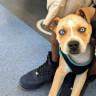 İki Farklı Cinsin Birleşimi İle Oluşan Birbirinden Tatlı 17 Köpek Fotoğrafı