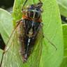 Ağustos Böceklerini Birer Alemciye Çeviren Parazit: Massospora