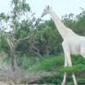 Nadir Görülen Beyaz Zürafaların İlk Kez Kameralara Takıldığı Anlar (Video)