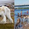 Aşırı Sıcaklar Sebebiyle Kuzey Kutup Dairesi'nde Resmen Plaj Havası Yaşanıyor