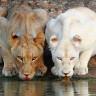 Vahşi Doğanın Güzellik ile Lanetlediği Albino Hayvanlar