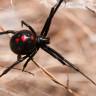 İklim Değişikliği, Karadul Örümceklerinin Yayılmasına Neden Oluyor
