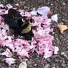 Ölü Arıya Çiçek Taşıyarak Adeta Cenaze Töreni Yapan Karınca Sürüsü (Video)