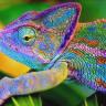 Bukalemunlar Neden ve Nasıl Renk Değiştiriyor?