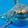 Bilim İnsanları, Ölümle Sonuçlanan Köpek Balığı Saldırılarını Araştırıyor