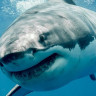 Pasifik Okyanusunun Ortasında 'Beyaz Köpek Balığı Cafe'si Bulundu