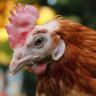 Bilime Göre Tavuklar, Başları Yokken Nasıl Hareket Edebiliyorlar?