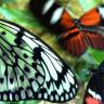 Bilim İnsanları, CRISPR Yöntemiyle Kelebeklerini Rengini Değiştirdi