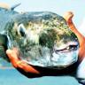 Antalya'da Bir Kişi, Avladığı Balon Balığını Yedikten Sonra Yoğun Bakıma Kaldırıldı