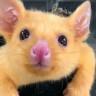 Doğal Yaşam Ekipleri, Avustralya'da Gerçek Bir Pikachu Kurtardı