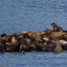 Şilili Balıkçılar: Deniz Aslanları En Büyük Düşmanlarımız