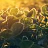 Fotosentezi Yeniden Tasarlayan Biyologlar, Yüzde 40 Kütle Artışı Elde Ettiler
