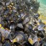 Mikroplastikler, Midyeleri ve Deniz Hayatını Tehdit Ediyor
