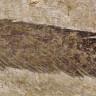 Bulunan İlk Dinozor Tüyü, Meğer Araştırmacıların Sandığı Şey Değilmiş