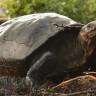Nadir Görülen Dev Galapagos Kaplumbağası, 113 Yıl Sonra Ortaya Çıktı