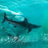 Dalgaların İçerisinde Yakalanan 2 Köpek Balığının Ürkütücü Fotoğrafı
