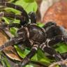 Amazon Yağmur Ormanlarında Avlanırken Görüntülenen Devasa Örümcek (Video)