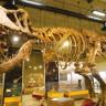28 Yıl Önce Kanada'da Bulunan T-Rex İskeleti, En Büyük İskelet İlan Edildi