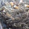 Kuşlar, Sigara İzmaritlerini Silah Olarak Kullanıyor