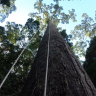 Bilim İnsanları Dünyanın En Uzun Tropikal Ağacını Keşfetti