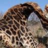 Avcı Kadın, Zürafayı Öldürdükten Sonra Yanına Yatıp Gülerek Poz Verdi