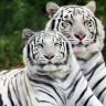 Küresel Isınma Nedeniyle 2070 Yılına Kadar Bengal Kaplanlarının Nesli Tükenecek