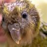 Nesli Tükenmekte Olan Yavru Bir Papağana Beyin Ameliyatı Yapıldı