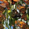 Aynı Anda Uçmaya Başlayan Milyonlarca Kelebeğin Çıkardığı Muhteşem Kanat Sesi (Video)