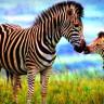 Yeni Bir Araştırma, Zebra Deseninin Asıl Görevini Ortaya Çıkardı