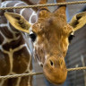 Zürafaların Ne Kadar Sıra Dışı Olduğunu Kanıtlayan 6 Bilgi
