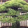 Atom Bombasından Bile Sağ Çıkan 392 Yıllık Bonsai Ağacı