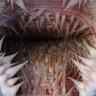 Deniz Kaplumbağalarının Onlarca Dikenin Bulunduğu, Ürkütücü Ağız Yapısı