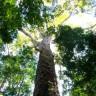 Amazon'da Normalden Yüzde 50 Daha Büyük Ağaçlar Keşfedildi