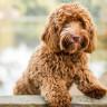 Labradoodle Cinsi Melez Bir Köpek Yaratan Adam: Bunu Yaptığım İçin Pişmanım